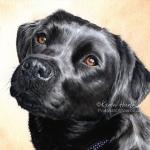 Breagha, Black Labrador