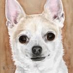 Gizmo, Chihuahua