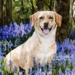Halley, Springer x Labrador