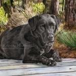 Max, Black Labrador