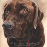 Zack, Chocolate Labrador