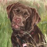 Charlie, Chocolate Labrador