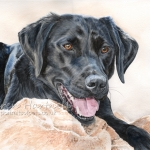 Ollie, Black Labrador
