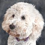 Sandy, Miniature Poodle