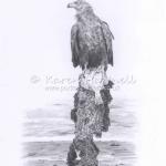White-tailed Eagle, Turquoise Z