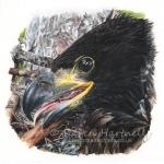 White-tailed Eagle, White T