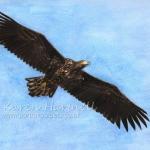 White-tailed Eagle, Grey T
