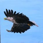 white-tailed-eagle-adult-flight