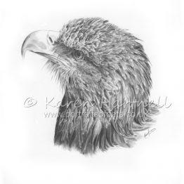 White-tailed Eagle Head Study