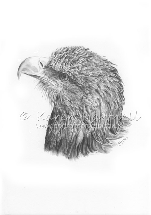 White-tailed Eagle Head Study