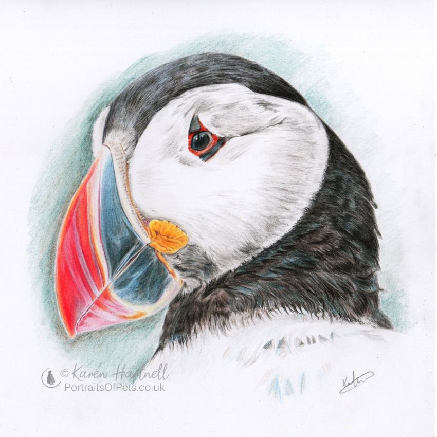 Puffin head portrait