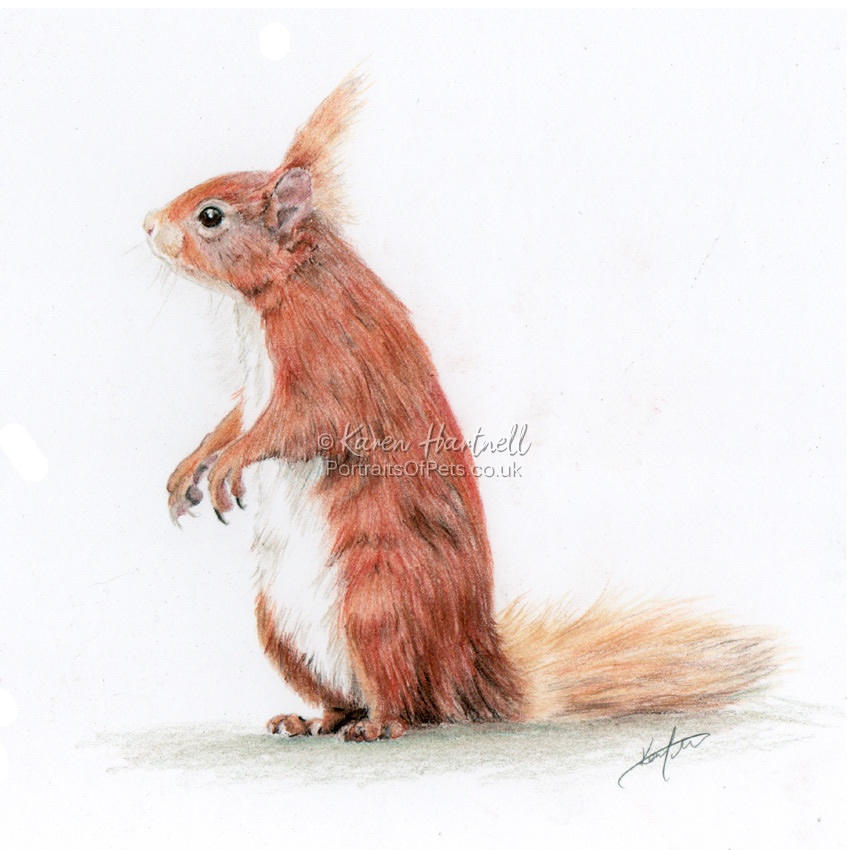 Red Squirrel in coloured pencil