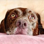 Lily, Chocolate Labrador. Watercolour