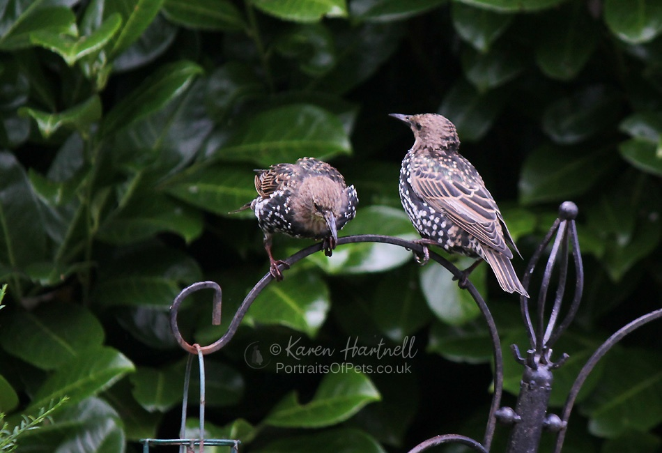 Young Starlings coming into adult plumage