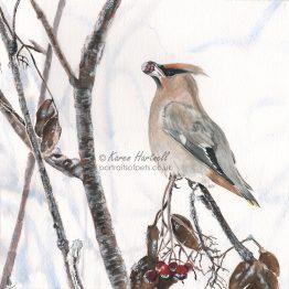 Winter Waxwing, watercolour