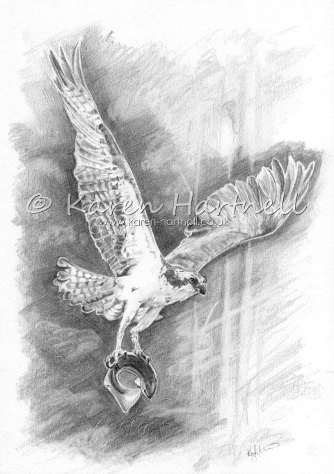 Osprey drawing
